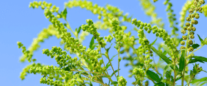 Ohio fall ragweed allergies